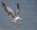 Grey headed gull coming in to land photographed southern africa Royalty Free Stock Photo