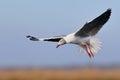 Grey-headed Gull hovering Stock Photo