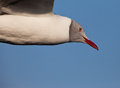 Grey-headed Gull portrait Royalty Free Stock Images