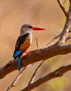 Grey-headed Kingfisher Royalty Free Stock Image