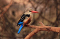 Grey-headed Kingfisher Stock Image
