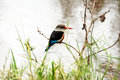 Grey headed kingfisher Royalty Free Stock Photo