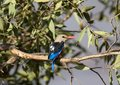Grey-headed Kingfisher Royalty Free Stock Photos