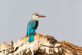 Grey headed kingfisher looking to his side