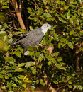 Grey-headed Kite Royalty Free Stock Photos