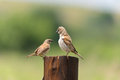 Grey headed sparrow couple courting cute Royalty Free Stock Photo