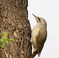 Grey-headed Woodpecker Stock Image