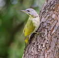 Grey headed woodpecker the picus canus also known as the faced is a eurasian member of the family Royalty Free Stock Image