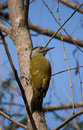 Grey headed woodpecker picus canus ready to hammer a tree Stock Photos