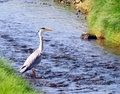 The Grey Heron Stock Photos