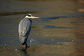 Grey-heron Royalty Free Stock Image