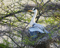 Grey heron ardea cinerea Image stock