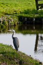 Grey heron or ardea cinerea fishing in country landscape at the waterside Stock Photography