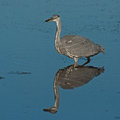 Grey heron ardea cinerea in fishing hunting Stock Images