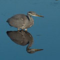 Grey heron ardea cinerea in fishing hunting Stock Photo