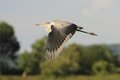 Grey heron ardea cinerea flying over the pond and looking for the fish Stock Images