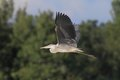 Grey heron ardea cinerea flying over the pond and looking for the fish Royalty Free Stock Images