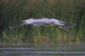 Grey heron ardea cinerea flying in their natural environment Stock Images