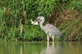Grey heron ardea cinerea hunt a fish in the natural enviroment with the carp Royalty Free Stock Images