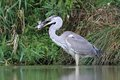 Grey heron ardea cinerea hunt a fish in the natural enviroment with the carp Stock Photos