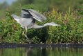 Grey heron ardea cinerea hunting a fish young in the natural enviroment the carp Stock Image