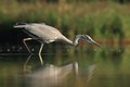 Grey heron ardea cinerea hunting a fish young in the natural enviroment the carp Royalty Free Stock Photography
