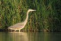 Grey heron ardea cinerea hunting in the pond and looking for the fish Royalty Free Stock Photo