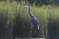Grey heron ardea cinerea hunting in the pond and looking for the fish Stock Images