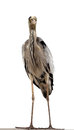Grey heron ardea cinerea isolated on white background front view Royalty Free Stock Image
