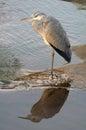 Grey heron ardea cinerea in kruger national park south africa Stock Images