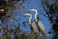 Grey heron ardea cinerea in love on the trees Royalty Free Stock Image