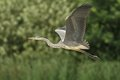 Grey heron ardea cinerea in the natural enviroment Royalty Free Stock Photo