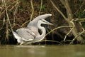 Grey heron ardea cinerea in the natural enviroment Stock Photography
