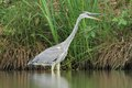 Grey heron ardea cinerea in the natural enviroment Royalty Free Stock Photography