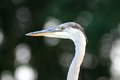 Grey heron ardea cinerea portrait closeup detail Royalty Free Stock Image