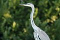 Grey heron ardea cinerea portrait looking for the fish closeup Stock Photos