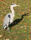 Grey heron ardea cinerea in regent s park london on grass with autumn leaves Stock Photos