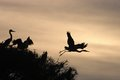 Grey heron ardea cinerea silhouttes on the trees Stock Image
