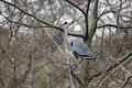 Grey heron ardea cinerea single bird collecting nest material london january Stock Photo