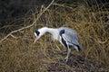 Grey heron ardea cinerea single bird on nest displaying london january Royalty Free Stock Photography