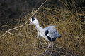 Grey heron ardea cinerea single bird on nest displaying london january Royalty Free Stock Photos