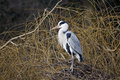 Grey heron ardea cinerea single bird on nest london january Stock Images