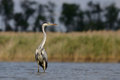 Grey heron ardea cinerea stands in water Stock Photo