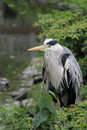 Grey heron ardea cinerea staying near water Stock Photography