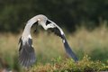 Grey heron ardea start flying in the natural enviroment Royalty Free Stock Photo