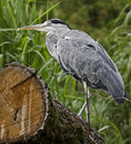 Grey heron on the beam latin name ardea cinerea Stock Images