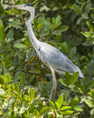 Grey heron a bird ardea cinerea in the national park in the gambia africa Stock Photos