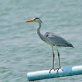 Grey heron bird ardea cinerea from thailand Stock Image