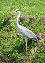 Grey heron bird with long beaks and feet high Royalty Free Stock Images