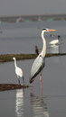 Grey heron bird sanctuary india photo taken in shallow water body at bhigwan Stock Photography